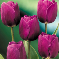 Tulip - Purple Prince